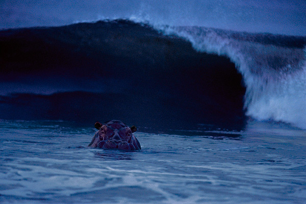 surfinghippo